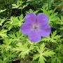 Geranium 'Blue Sunrise'