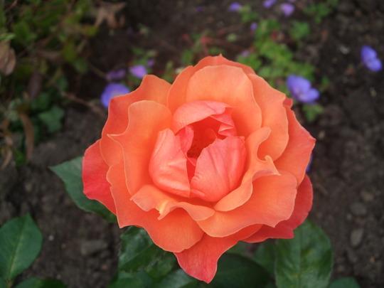 Rosa floribunda 'Sunset Boulevard' (Rosa floribunda)