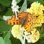 Comma_on_orange_ball_buddleia