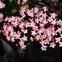 Sambucus_nigra_black_beauty_flower