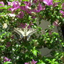 Swallowtail beauty