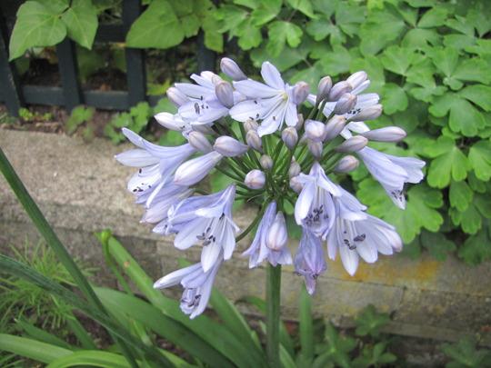 Agapanthus pale blue (Agapanthus umbellatus (African blue lily))