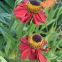 Helenium_red_army_