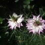 Two_pink_nigella