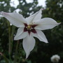 Acidanthera (Acidanthera murieliae (Peacock orchid))