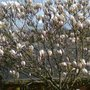 Magnolia_full_bloom