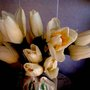 Dafflips (Jonquilla)