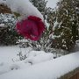 Frozen_rose