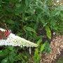 Peacock on white buddleia