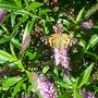 Painted Lady lunching
