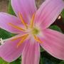 Pink_flower_002