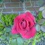Perfect_rose