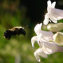 Foxglove Beardtongue and Bee (Penstemon digitalis (Foxglove Beardtongue))