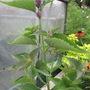 Agastache Anisata (Agastache anisata)