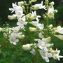 Foxglove Beardtongue (Penstemon digitalis (Foxglove Beardtongue))