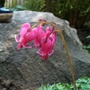 Dicentra King of Hearts (Dicentra 'King of Hearts')