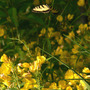 Sundrops With Tiger Swallowtail (Oenothera fruticosa (Sundrops))