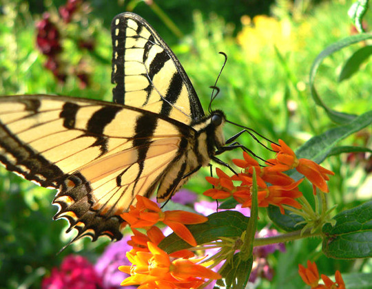 Tiger Swallowtail Finds Butterfly Weed (Asclepias tuberosa)