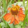 Helenium_moorheim_beauty_