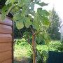 Ficus Carica - Varieta....