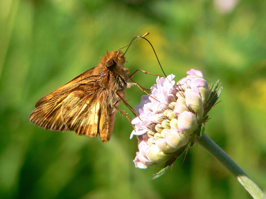 Male Zabulon Skipper (Scabiosa columbaria (Driakiew))