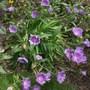 Stokesia Laevis.  (Stokesia laevis)