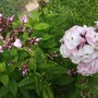 Phlox Duchess of york (Phlox paniculata (Perennial phlox))