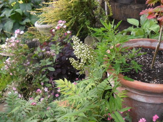 Sorbaria (Sorbaria sorbifolia `Sem`)