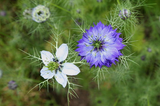 Nigella 'Moody Blues' and 'Hispanica' (Nigella damascena (Love-in-a-mist))