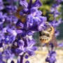 Blue sage with bee