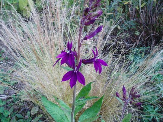 Lobelia 'Hadspens Purple' (Lobelia)