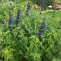 Salvia 'Blue and Black'  (Salvia)