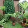 august in the garden (tree ferns)