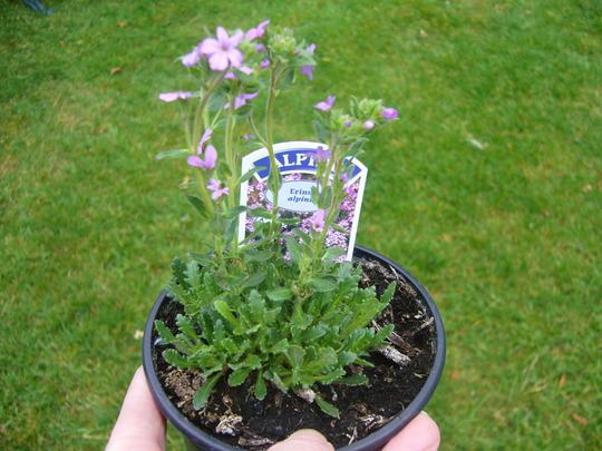 Erinus alpinus (Alpenbalsam) (Erinus alpinus (Alpenbalsam))