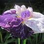 Freckled Geisha (iris ensata)