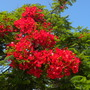 Delonix regia - Royal Poinciana, Flamboyant