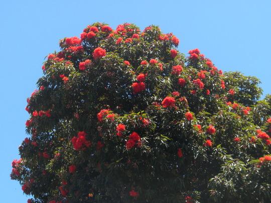 Corymbia ficifolia (previously known as: Eucalyptus ficifolia - Flowering Gum (Corymbia ficifolia (previously known as: Eucalyptus ficifolia - Flowering Gum)