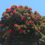 Corymbia ficifolia (previously known as: Eucalyptus ficifolia - Flowering Gum (Corymbia ficifolia (previously known as: Eucalyptus ficifolia - Flowering Gum)