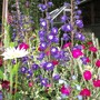 delphiniums and lychnis