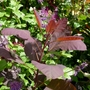 Cotinus 'Grace' (Cotinus coggygria (Smoke bush))