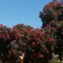 Corymbia ficifolia (previously known as: Eucalyptus ficifolia) - Flowering Gum (Corymbia ficifolia (previously known as: Eucalyptus ficifolia - Flowering Gum)