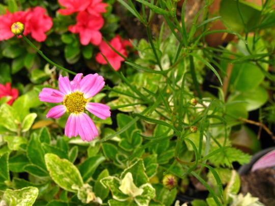 coreopsis, pink