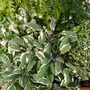 Variegated Sage (Salvia Officinalis)