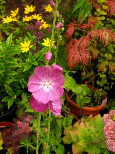 Sidalcea malviflora 'Party Girl' (Sidalcea malviflora (party girl))