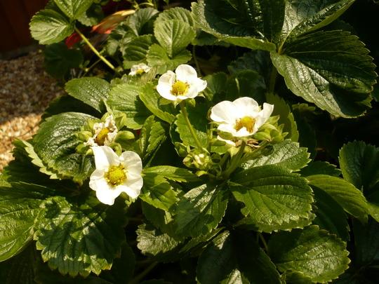 Strawberry plant flowers.