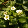 Strawberry plant flowers.