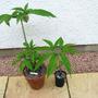 Sauromatum venosum foliage