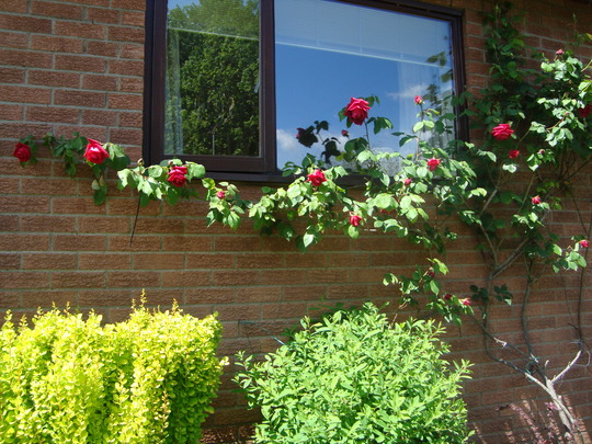 Rose climber and Berberis.