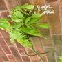 wisteria albas