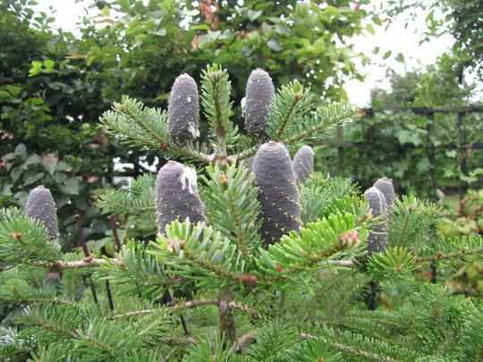 Blue cones on the Christmas tree. (Abies koreana (Korean fir))